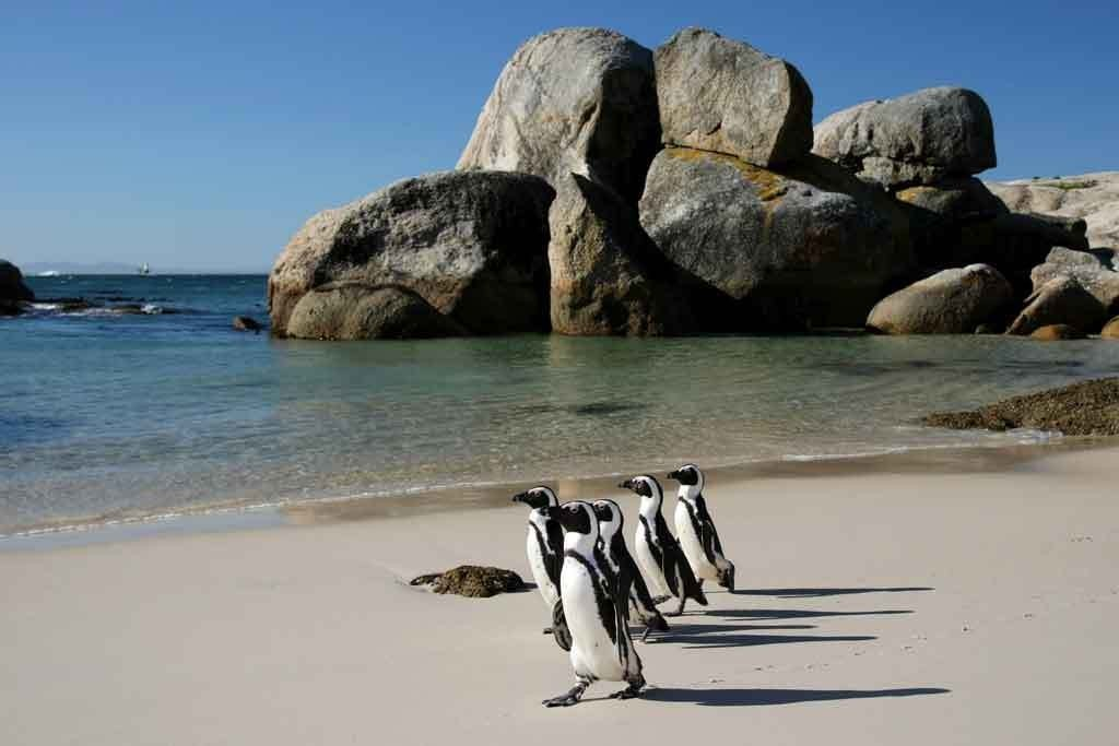 Pinguins on Boulders Beach in Cape Town
