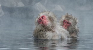 bigstock-Japanese-Snow-Monkey-Macaque-I-140439425
