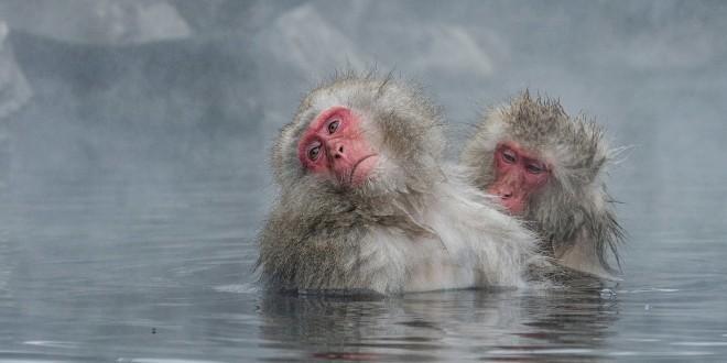 bigstock-Japanese-Snow-Monkey-Macaque-I-140439425