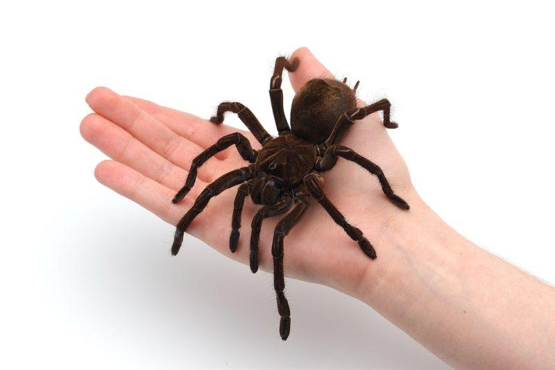 Die Goliat Spinne gilt mit bis zu zwölf Zentimeter Körperlänge und einer Beinspannlänge von bis zu 30 Zentimeter als die größte Vogelspinne der Welt.