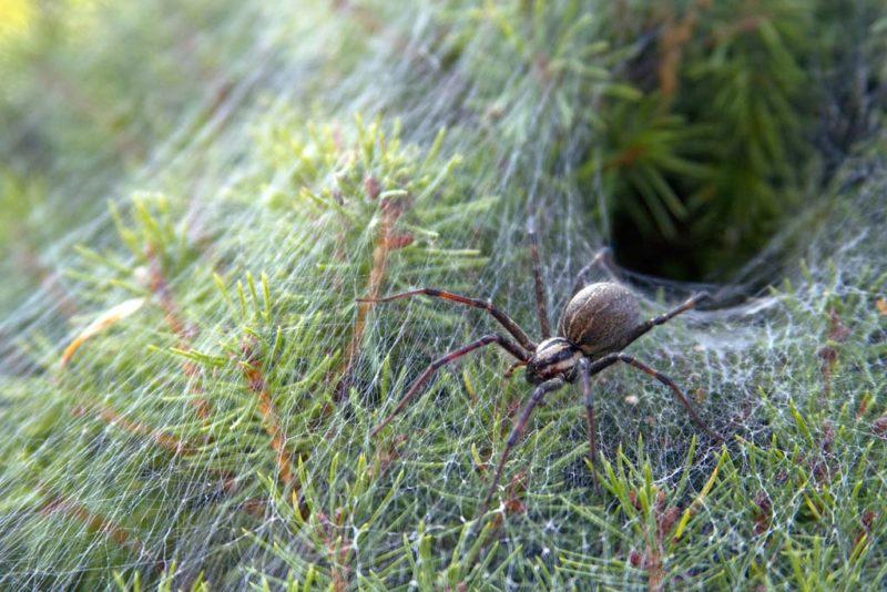 Das trichterförmige Nest der Trichternetzspinne