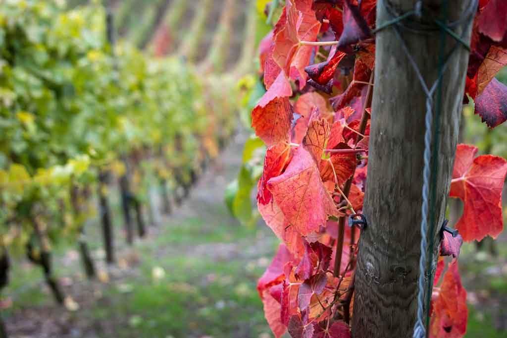 Rote Weinblätter enthalten viele sekundäre Pflanzenstoffe und stärken die Zellwände