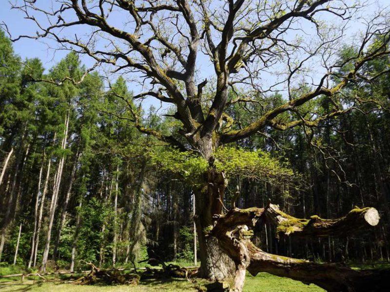 """Naturdenkmal """"Schirmeiche Goor"""" im Wald"""