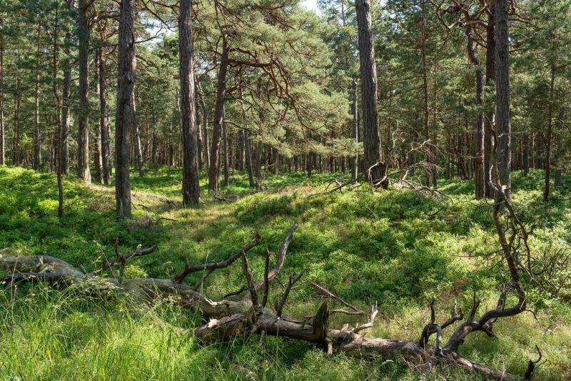 Für Naturliebhaber: Wandern im Darßer Wald